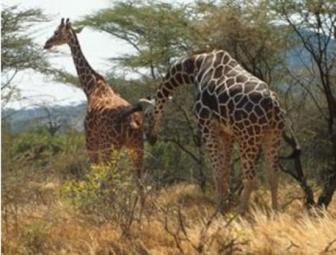 giraffe-fleshman
