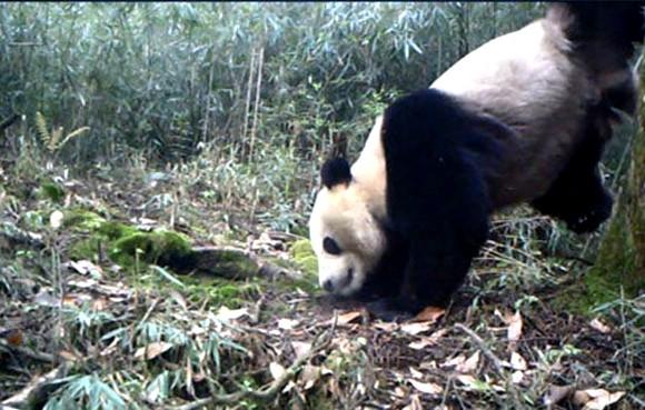 panda-headstand-urinate