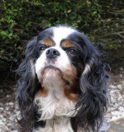 brachycephalic airway obstruction syndrome baos and the cavalier king charles spaniel [ 2159 x 2304 Pixel ]