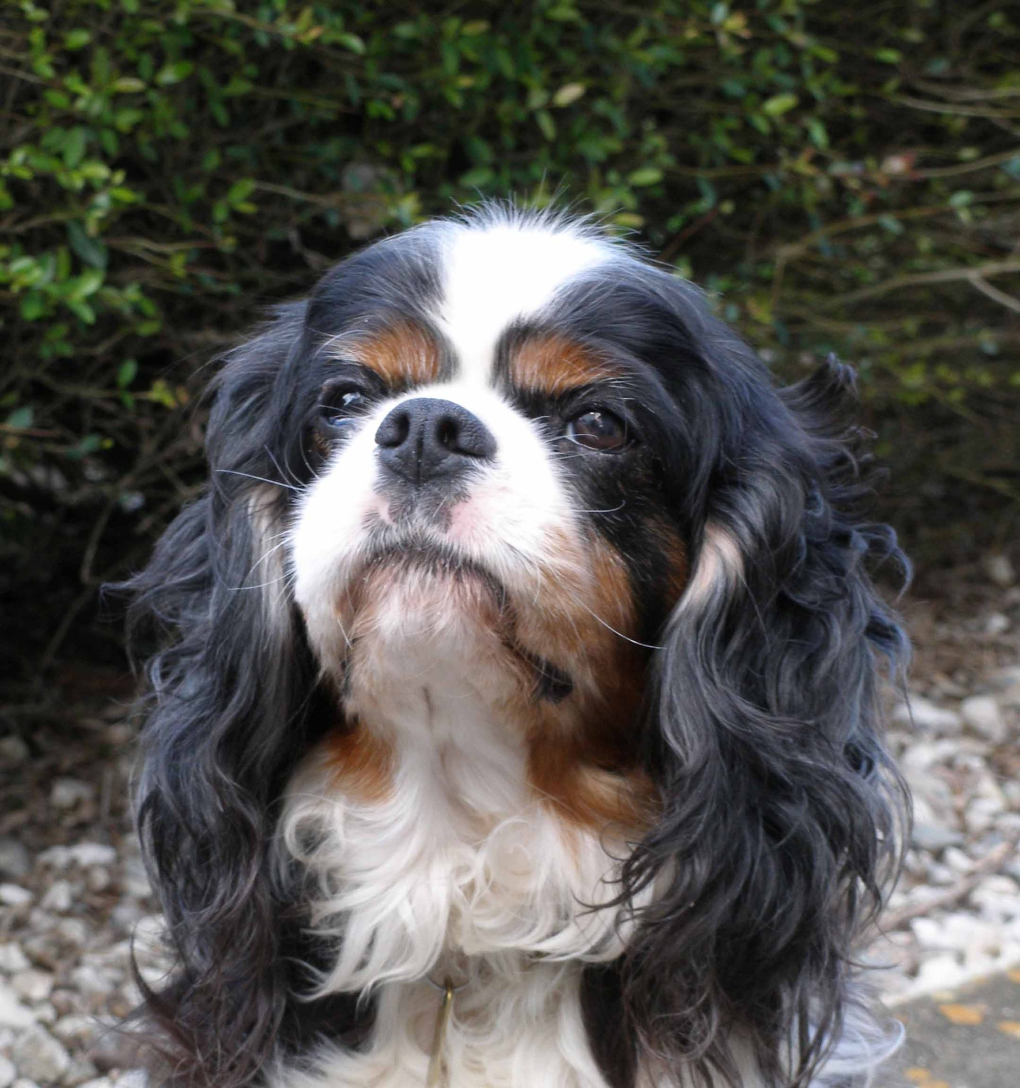 hight resolution of brachycephalic airway obstruction syndrome baos and the cavalier king charles spaniel