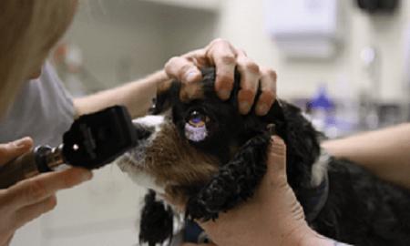 canine eye diagram right 2005 dodge durango infinity radio wiring disorders in cavalier king charles spaniels examination