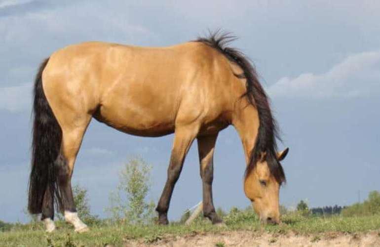 Buckskin: Cinco tipos de cavalos de extrema beleza