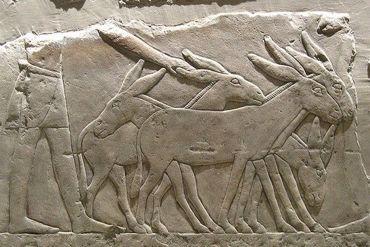 A domesticação dos burros