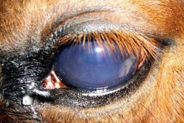 Também conhecida como 'Cegueira da Lua', a Uveíte Recorrente Equina é uma enfermidade muito frequente em cavalos