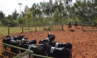 Confira os cuidados primordiais de manejo para o bem-estar do gado