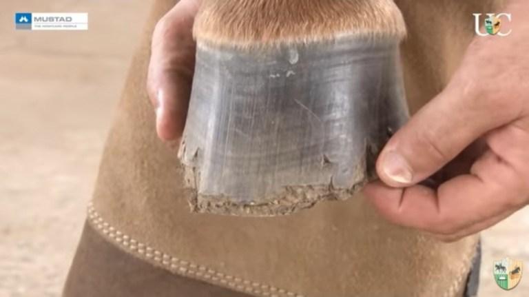 Avaliando um cavalo que perdeu a ferradura
