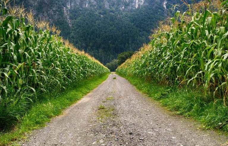 Vai sobrar milho nos Estados Unidos e preços podem cair no Brasil ARC Mercosul estima que até 2,5 milhões de toneladas de milho deixarão de serem esmagadas
