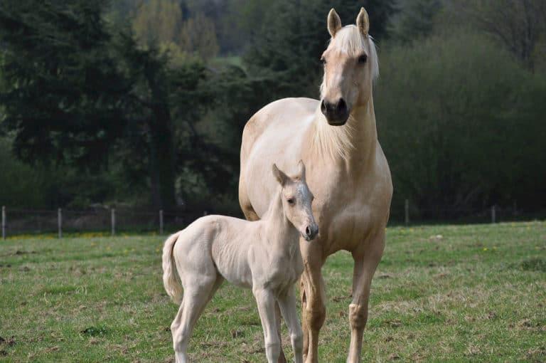 Comportamento normal para éguas prestes a parir Fique atento a esses sinais antes que sua égua dê à luz