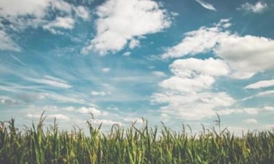 O que você precisa saber sobre a silagem de milho Você deve fornecer ao seu cavalo forrageira proveniente da ensilagem?