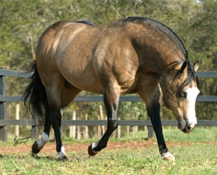 Todo cavalo Baio é igual? Pele clara e crinas pretas? Encontramos diferenças sutis nessa pelagem, contudo a beleza permanece a mesma