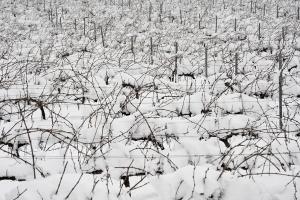 Vignes sous la neige