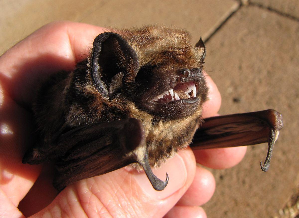 Hawaiian Hoary Bat Named Official State Land Mammal