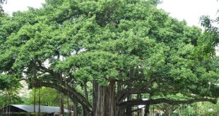 National Tree of India (Banyan) : Features, Significance and Uses