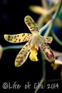 Ansellia africana - The Leopard orchid. Indigenous to southern Africa. In the cymbidium family. Used as traditional medicine to cure insanity.