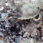 Turtle hatchlings burned in abandoned bonfire