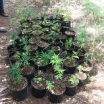 Cops seize ganja plants found in Frank Sound
