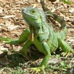 Last call ahead of green iguana cull