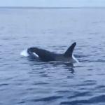 Visiting pod of killer whales caught on camera