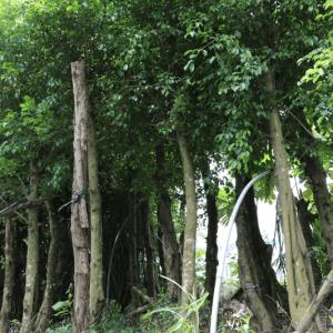 Hình Ảnh Cây Sanh - Cây Bóng Mát - Cty TNHH Cây Xanh Đông Thuận Đông