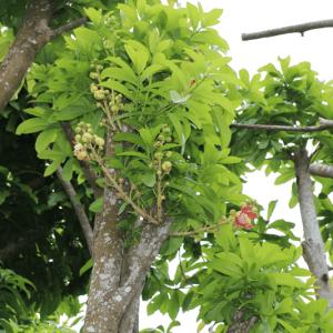 Hình Ảnh Cây Thala (Ngọc Kỳ Lân) - Cây Bóng Mát - Cty TNHH Cây Xanh Đông Thuận Đông