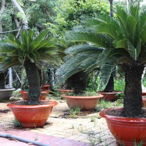 Hình Ảnh Cây Thiên Tuế - Cây Trang Trí Công Trình - Cty TNHH Cây Xanh Đông Thuận Đông