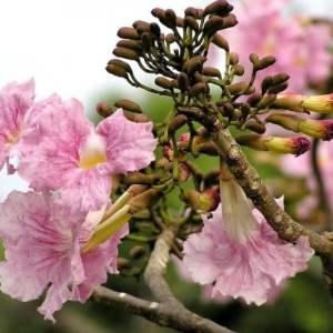 Hình Ảnh Cây Kèn Hồng (Chuông Hồng) - Cây Bóng Mát - Cty TNHH Cây Xanh Đông Thuận Đông