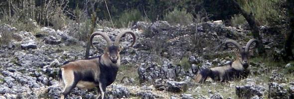 Sierra Nevada Ibex