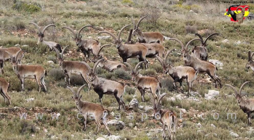 manada macho montes ibex weird
