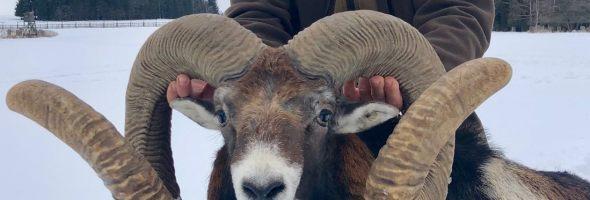 República Checa: Los muflones más grandes