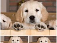 Reproduccion-perros-de-caza