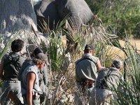 100 Elefantes 100: Valoración de los colmillos (II)