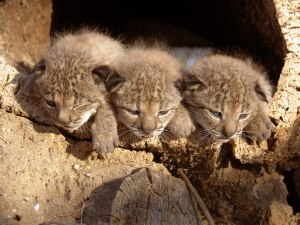 20120413-lince-2