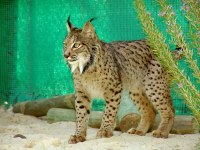 20120413-lince-6