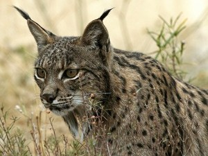 images_wonke_actualidad_medio-ambiente_20120626-lince