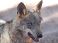 del lobo