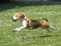 La artrosis en nuestros perros