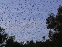 Paraguay abre la temporada de caza de palomas por cinco años