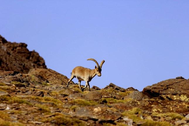 Los rebecos en Picos de Europa y la cabra montés, en el Parque Nacional de Sierra Nevada  ya necesitaron en el pasado la intervención de 'pistoleros' para paliar los efectos de la sarna producidos por la sobrepoblación.