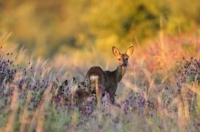 Uno de los aspectos a tener en cuenta en la gestión es la caza de hembras que, a pesar de que todavía tiene detractores y recelosos, es aconsejada por asociaciones como la ACE y autorizada por la Administración.