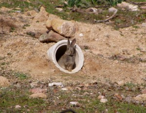 Las entradas a los majanos no deben ser mayores de 8-10 cm de ancho para evitar que entren zorros y jabalíes que preden a los gazapos.