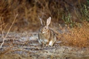 355 - Descaste (3) conejo