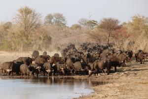 355 - Las cosas importantes (1) búfalos