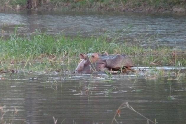355 - Tres de los cinco grandes (6) hipopótamo