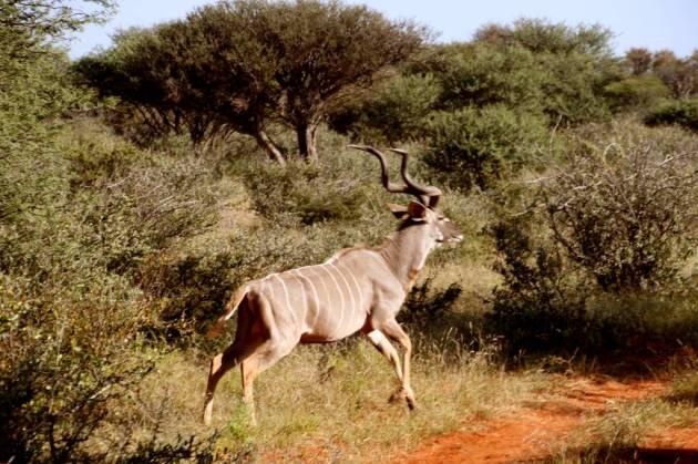 358 - Antilopes (1)