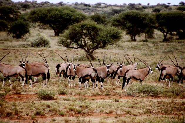 358 - Antilopes (4)