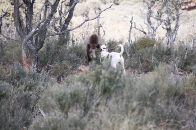 Uno de los cochinos que levantaron los perros que acompañábamos.