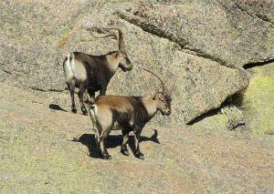cabra montés © UNAC