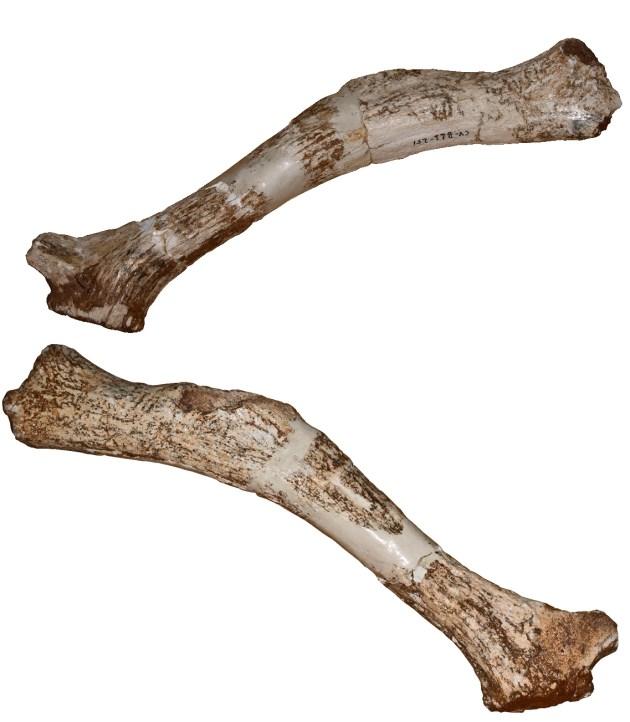 Cuena holotipo, la que define la especie, de Megaloceros novocarhaginiensis vista por ambos lados.