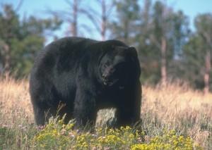 oso negro © SCI copia
