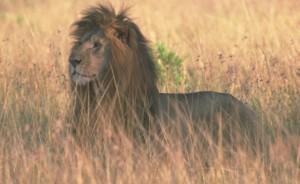 lion4 © SCI